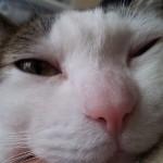 我が家のネコちゃんにウインクをさせてみた